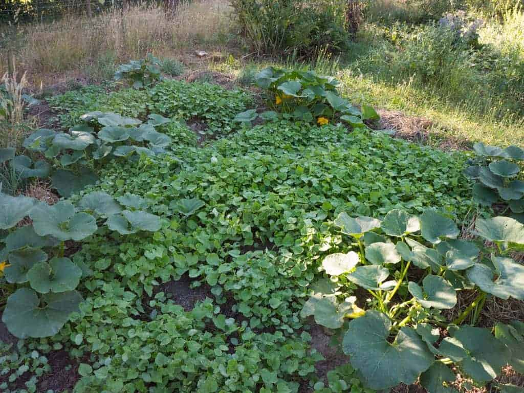 Buckwheat, a Garden Ally